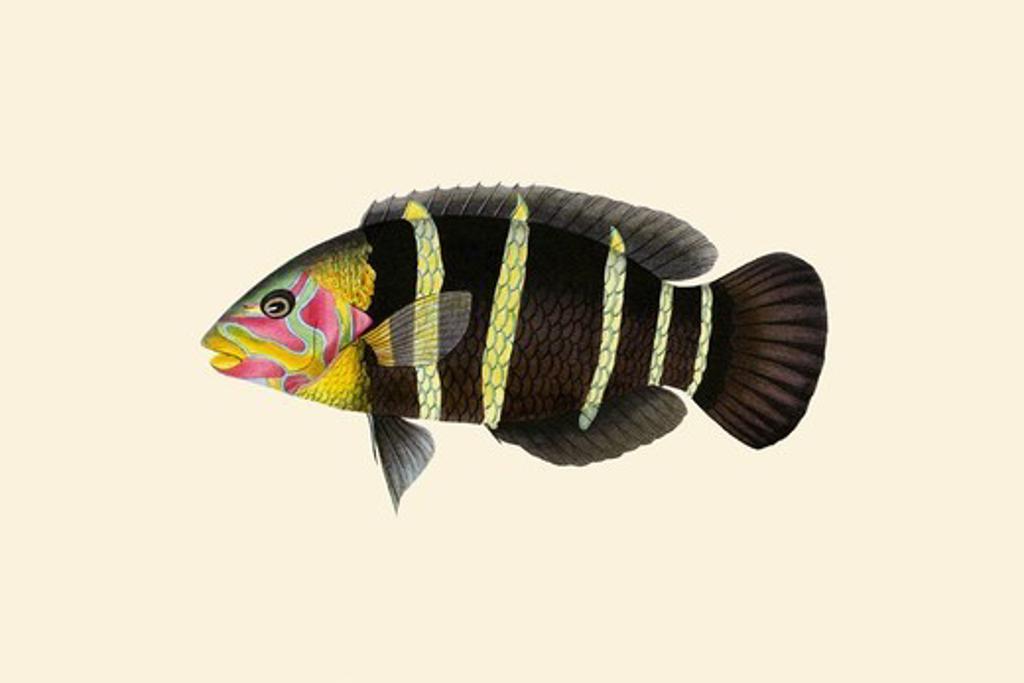 Stock Photo: 4408-19387 Panoo-Girawah Worm-Parrot, Ichthyology - Fish