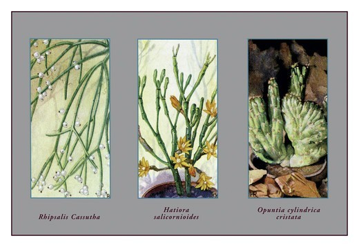 Stock Photo: 4408-8367 Rhipsalis Cassutha, Cacti & Succulents