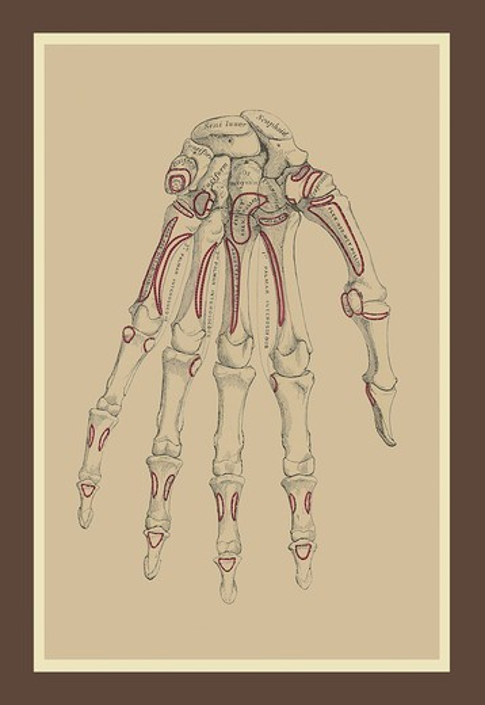 Bones of the Lower Row, Medical - Anatomy : Stock Photo