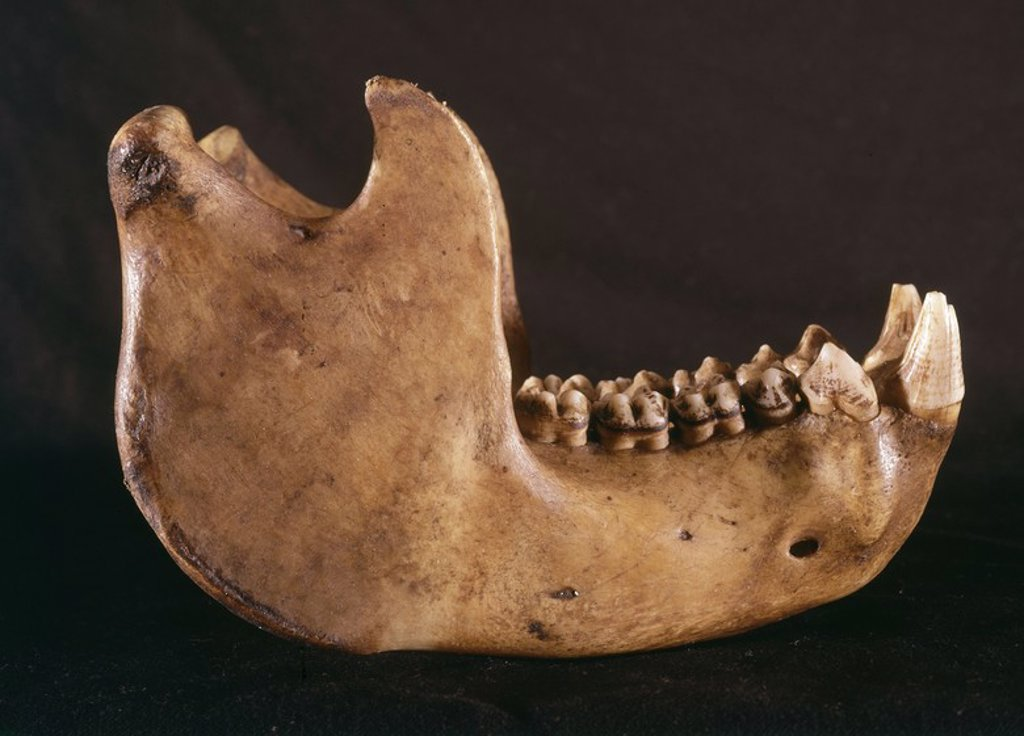Stock Photo: 4409-103207 MANDIBULA DE GORILA. Location: FACULTAD DE BIOLOGICAS, MADRID, SPAIN.