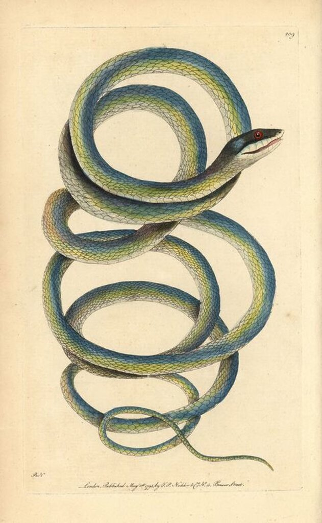 "Stock Photo: 4409-149459 Lora or parrot snake, Leptophis ahaetulla. Illustration drawn and engraved by Richard Polydore Nodder. Handcolored copperplate engraving from George Shaw and Frederick Nodder's ""The Naturalist's Miscellany,"" London, 1795. Most of the 1,064 illustrations of animals, birds, insects, crustaceans, fishes, marine life and microscopic creatures were drawn by George Shaw, Frederick Nodder and Richard Nodder, and engraved and published by the Nodder family. Frederick drew and engraved many of the copper"