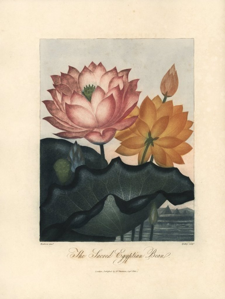 "Stock Photo: 4409-163663 Sacred Egyptian bean, Nelumbo nucifera. Painted by Peter Henderson, engraved by Quilley. Handcoloured stipple copperplate engraving from Dr. Robert Thornton's ""Temple of Flora,"" Lottery edition, London, 1812. The illustrations were a mix of aquatint, mezzotint and stipple engravings finished by hand."