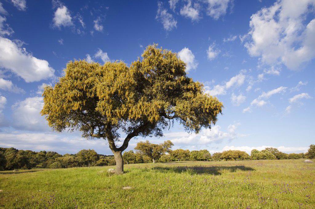 Stock Photo: 4409-31101 Holm oak (Quercus ilex). Sierra de Andujar Natural Park. Jaen. Andalusia. Spain.