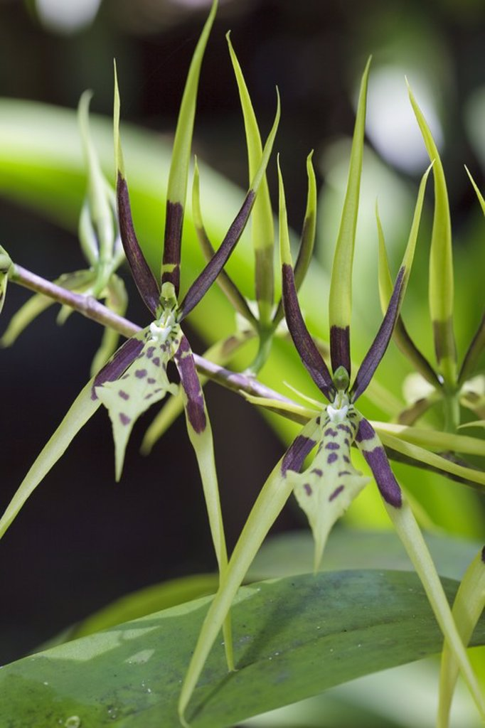 Stock Photo: 4409-31310 Brassia bidens (Family Orchidaceae). Bosque de Protección Alto Mayo. Amazonas Departament. Peru.