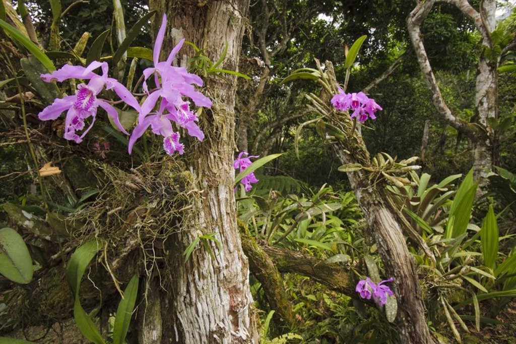 Stock Photo: 4409-31366 Cattleya maxima (Family Orchidaceae). Bosque de Protección Alto Mayo. Amazonas Departament. Peru.