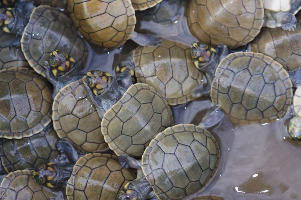 Stock Photo: 4409-31428 Taricayas (Podocnemis unifilis) new born. Pacaya Samiria National Reserve. Amazon Basin. Loreto. Peru.