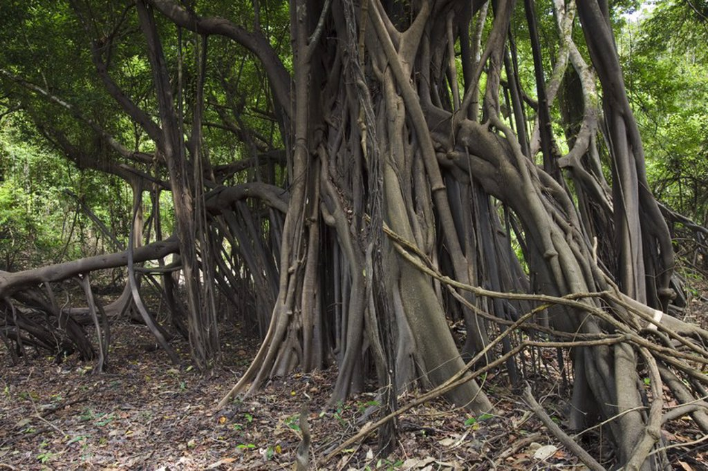 Ficus coxinguba in rainforest. Pacaya Samiria National Reserve. Amazon basin. Loreto. Peru. : Stock Photo