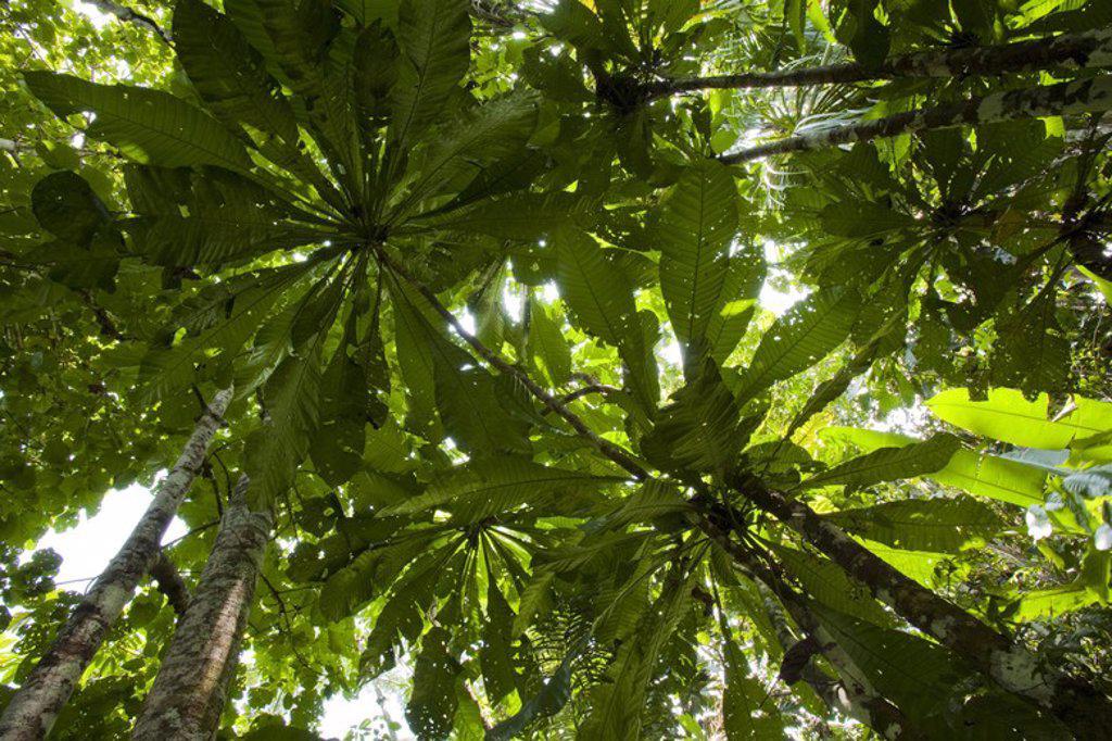 Stock Photo: 4409-31542 Rainforest. Pacaya Samiria National Reserve. Amazon Basin. Loreto. Peru.