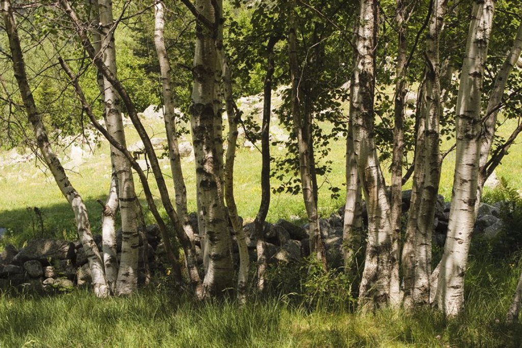 Stock Photo: 4409-31565 Betula pendula. Madriu Valley Natural Park. The Pyrenees mountain. Andorra.