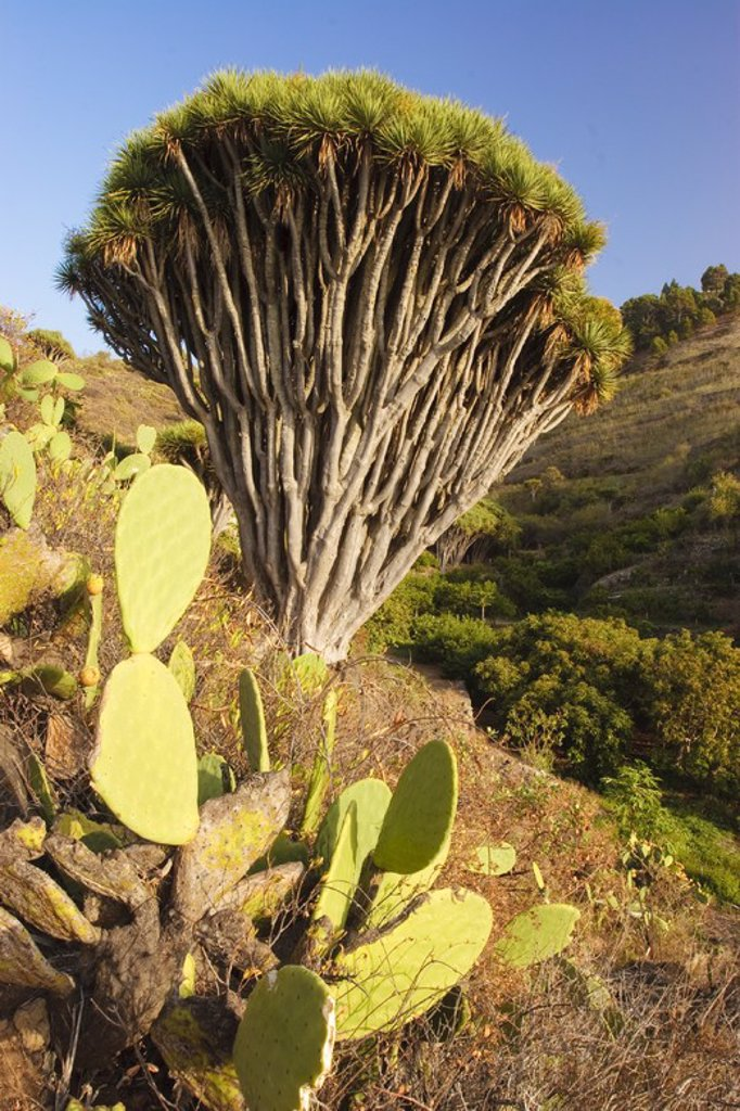 Stock Photo: 4409-31663 Drago tree (Dracaena draco) in Hiscaguan Coast. La Palma. Canary Island. Spain.