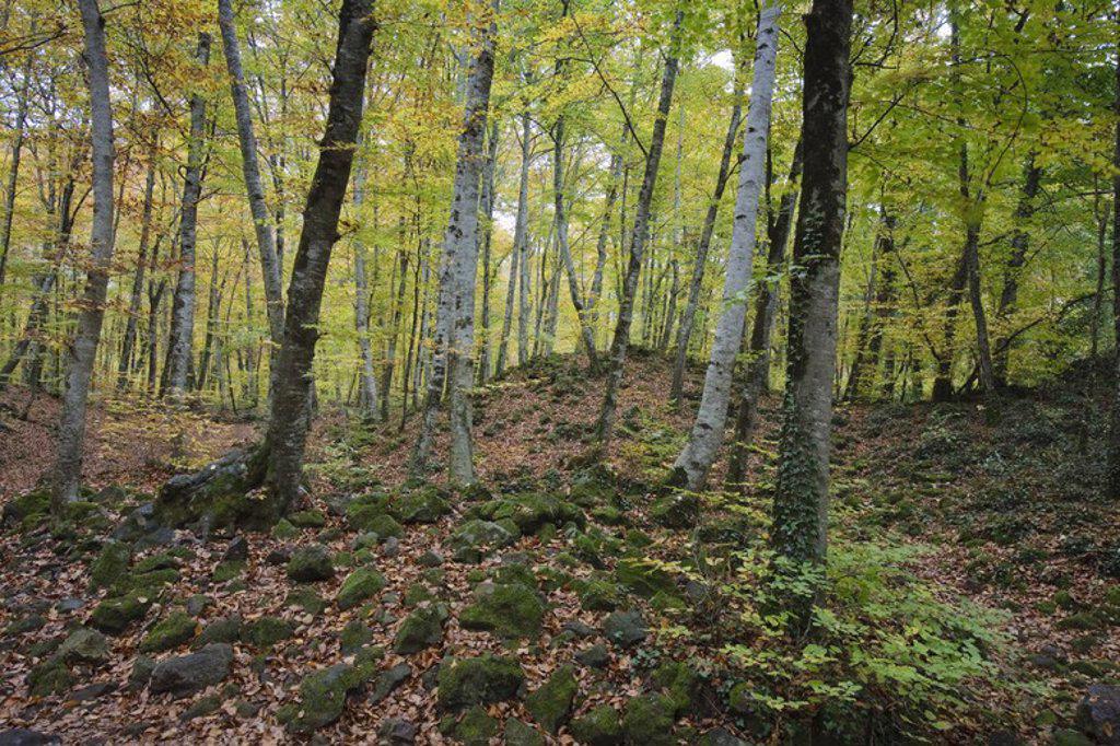 Stock Photo: 4409-31793 Fageda de n'en Jordà. Zona Volcánica de la Garrotxa Natural Park. Gerona. Spain.