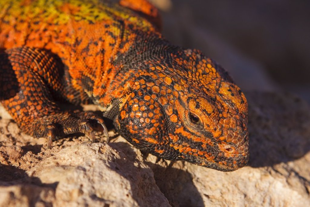 Stock Photo: 4409-32247 Uromastyx acanthinurus nigriventris. Individual in the High Atlas. Morocco.