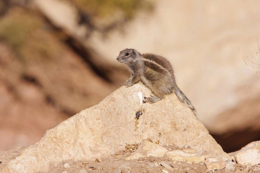 Atlantoxerus getulus. Morocco. : Stock Photo