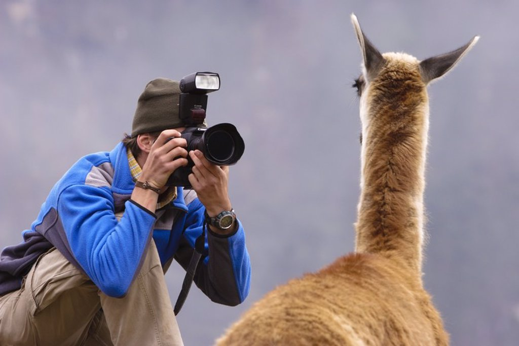 Take a photograph of llama (Lama glama). Historical National Sanctuary of Machu Pichu. Sacred Valley. Cusco Departament. Peru. : Stock Photo