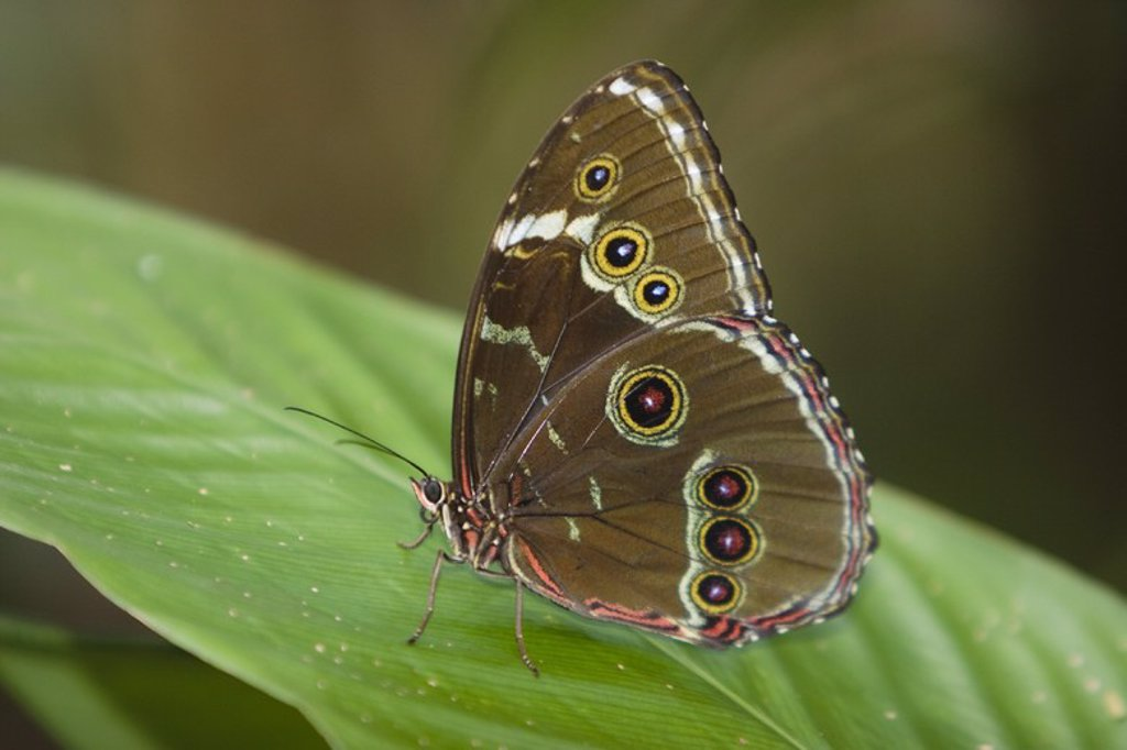 Morpho achilles. Tambopata Natural Reserve. Madre de Dios Departament. Peru. : Stock Photo