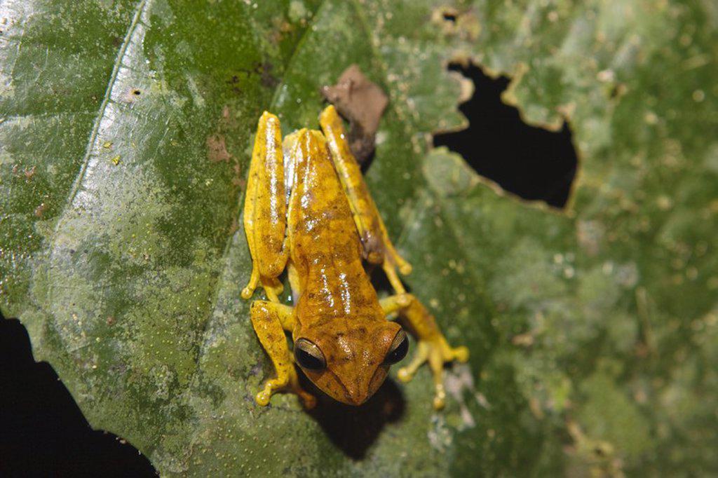 Hyla fasciata. Tambopata Natural Reserve. Madre de Dios Departament. Peru. : Stock Photo