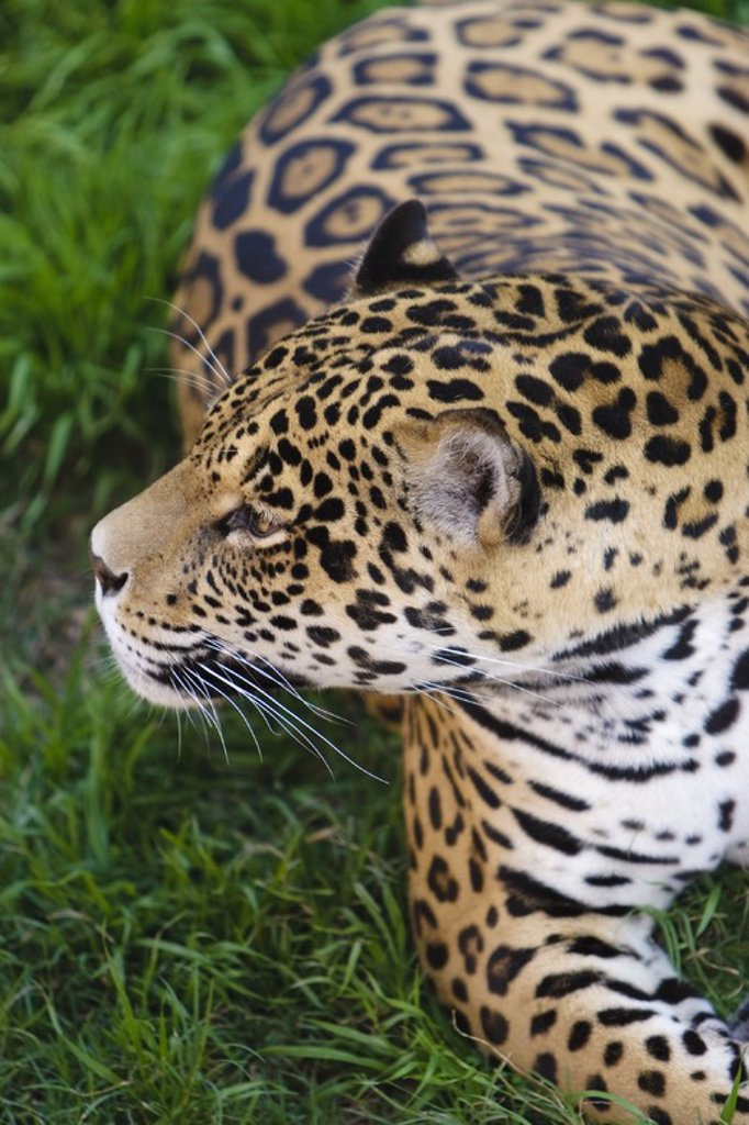 Stock Photo: 4409-32623 Jaguar (Panthera onca). Peru.