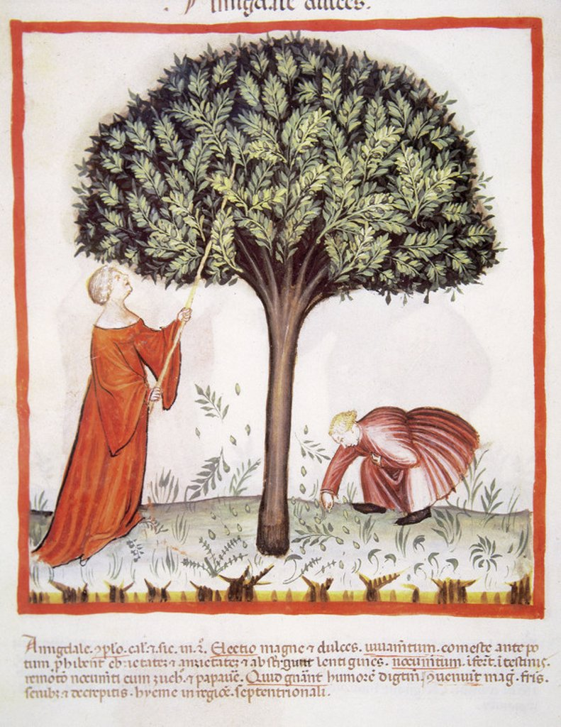 Stock Photo: 4409-38008 Tacuinum Sanitatis. Medieval Health Handbook, dated before 1400, based on observations of medical order detailing the most important aspects of food, beverages and clothing. Farmers harvesting almonds. Miniature. Folio 18v.