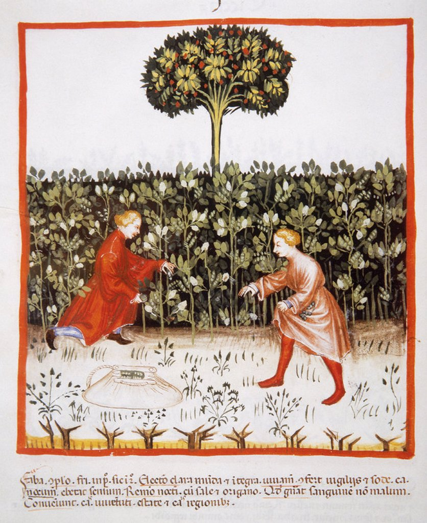 Tacuinum Sanitatis. Medieval Health Handbook, dated before 1400, based on observations of medical order detailing the most important aspects of food, beverages and clothing. Farmers gathering beans. Miniature. Folio 49v. : Stock Photo