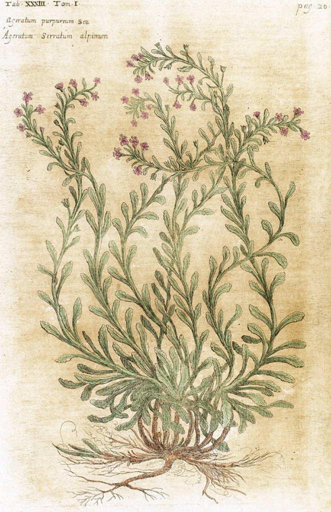 "Stock Photo: 4409-39031 Ageratum. Seventeenth-century engraving in ""Bibliotheca Pharmaceutica-Medica"" by J. Jacobi Mangeti. Published in Genoa. Italy. Colored engraving."