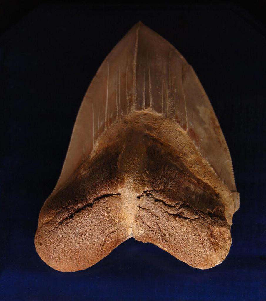Stock Photo: 4409-39068 DIENTE de CARCHARODON. MIOCENO. YORKTOWN. Museo de Geología. Rapid City. Estado de Dakota del Sur. Estados Unidos.