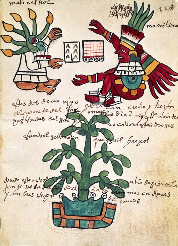 Cacao tree. Page 228 from the Tudela Codex. Written in 1553 with annotations in Castilian. Madrid, museum of America. Location: MUSEO DE AMERICA-COLECCION, MADRID, SPAIN. : Stock Photo