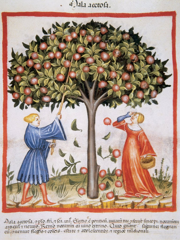 Tacuinum Sanitatis. Medieval Health Handbook, dated before 1400, based on observations of medical order detailing the most important aspects of food, beverages and clothing. Picking tart apples. Miniature. Fol 9r. : Stock Photo