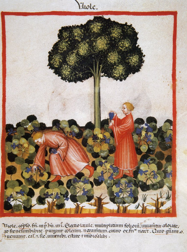 Stock Photo: 4409-40243 Tacuinum Sanitatis. Medieval Health Handbook, dated before 1400, based on observations of medical order detailing the most important aspects of food, beverages and clothing. Picking violets. Miniature. Folio 39v.