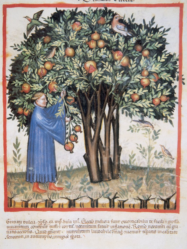Stock Photo: 4409-40320 Tacuinum Sanitatis. Medieval Health Handbook, dated before 1400, based on observations of medical order detailing the most important aspects of food, beverages and clothing. Picking sweet pomegranate. Miniature. Fol. 7r.