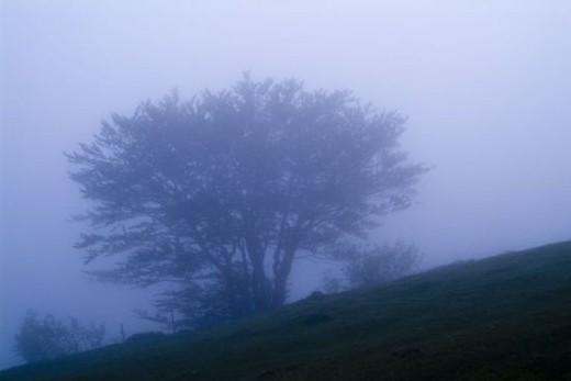 Gorbea Natural Park. Beech in Campas de Araba. Biscay province. Basque Country. : Stock Photo