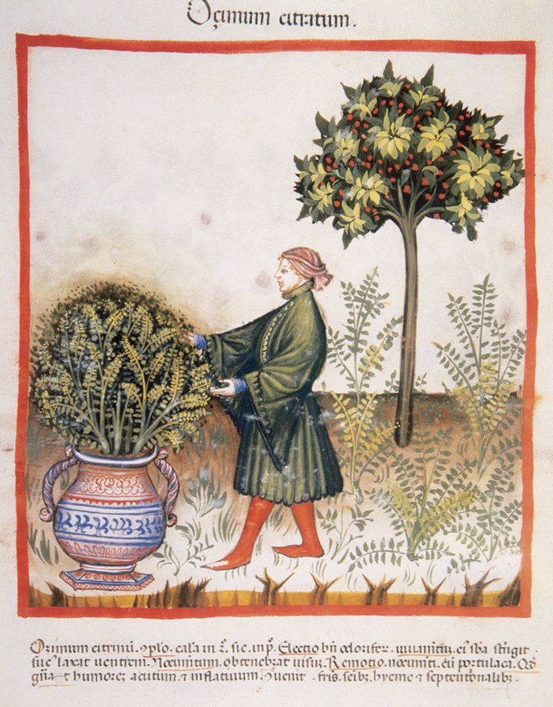 Tacuinum Sanitatis. Medieval Health Handbook, dated before 1400, based on observations of medical order detailing the most important aspects of food, beverages and clothing. Man picking basil. Miniature. Fol. 31r. : Stock Photo