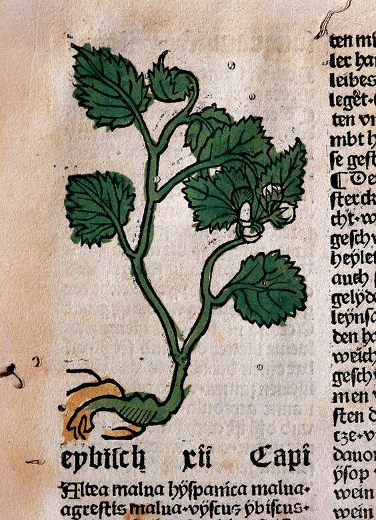 """Stock Photo: 4409-45937 """"HORTUS SANITATIS"""". Herbario editado en 1487 por Johann Schönsperger en Augsburgo. MALVAVISCO. Tanto la flor como las hojas y la raíz son laxantes, muy utilizadas contra las enfermedades gastrointestinales. La infusión de sus flores es efectiva contra la tos. Útil contra los dolores de hemorroides. Fol.9. Biblioteca Universidad de Barcelona. Cataluña."""