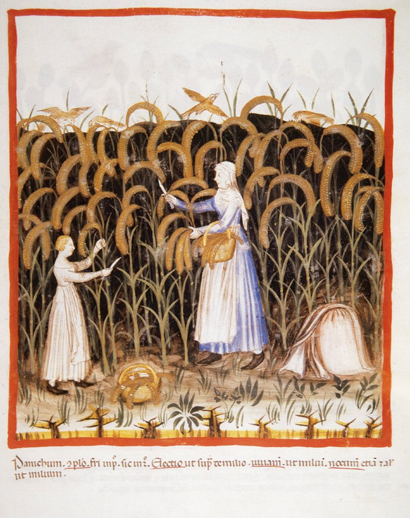 Tacuinum Sanitatis. Medieval Health Handbook, dated before 1400, based on observations of medical order detailing the most important aspects of food, beverages and clothing. Peasant with her daughter gathering ears of maize. Miniature. Folio 48r. : Stock Photo