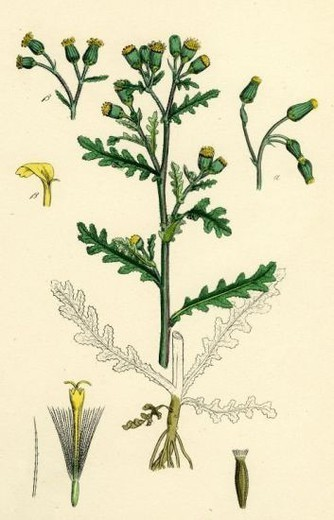 Senecio vulgaris; Common Groundsel. : Stock Photo