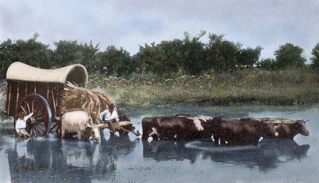 Argentina. Yoke of oxen wading a lagoon. Reproduction of a photograph in the press of the time (early twentieth century). Coloured. : Stock Photo