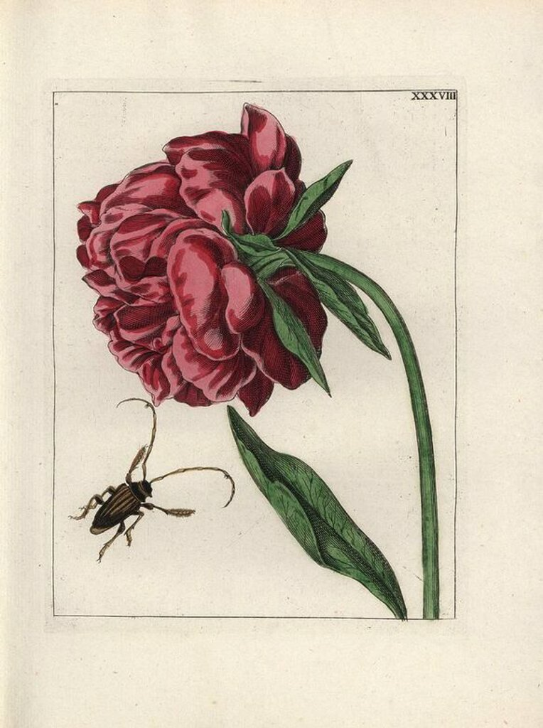 "Peony, Paeonia suffruticosa, and beetle. Handcoloured copperplate botanical engraving from ""Nederlandsch Bloemwerk"" (Dutch Flower Arrangements), Amsterdam, J.B. Elwe, 1794. The artist of the fine plates is a mystery: the title bouquet has the signature of Paul Theodor van Brussel (1754-1795), the Dutch flower painter, and one auricula is ""drawn from life"" by A. Bres. According to Hunt, 30 plates show the influence of the famous French artist Nicolas Robert (1614-1685). : Stock Photo"