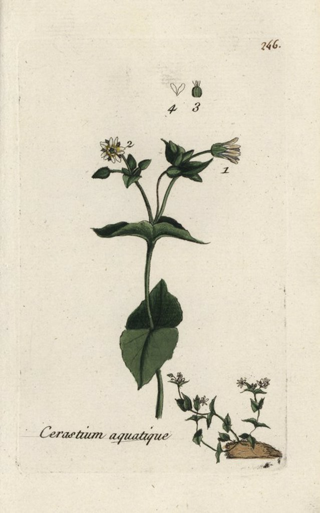 "Water chickweed, Cerastium aquaticum. Handcoloured botanical drawn and engraved by Pierre Bulliard from his own ""Flora Parisiensis,"" 1776, Paris, P. F. Didot. Pierre Bulliard (1752-1793) was a famous French botanist who pioneered the three-colour-plate printing technique. His introduction to the flowers of Paris included 640 plants. : Stock Photo"