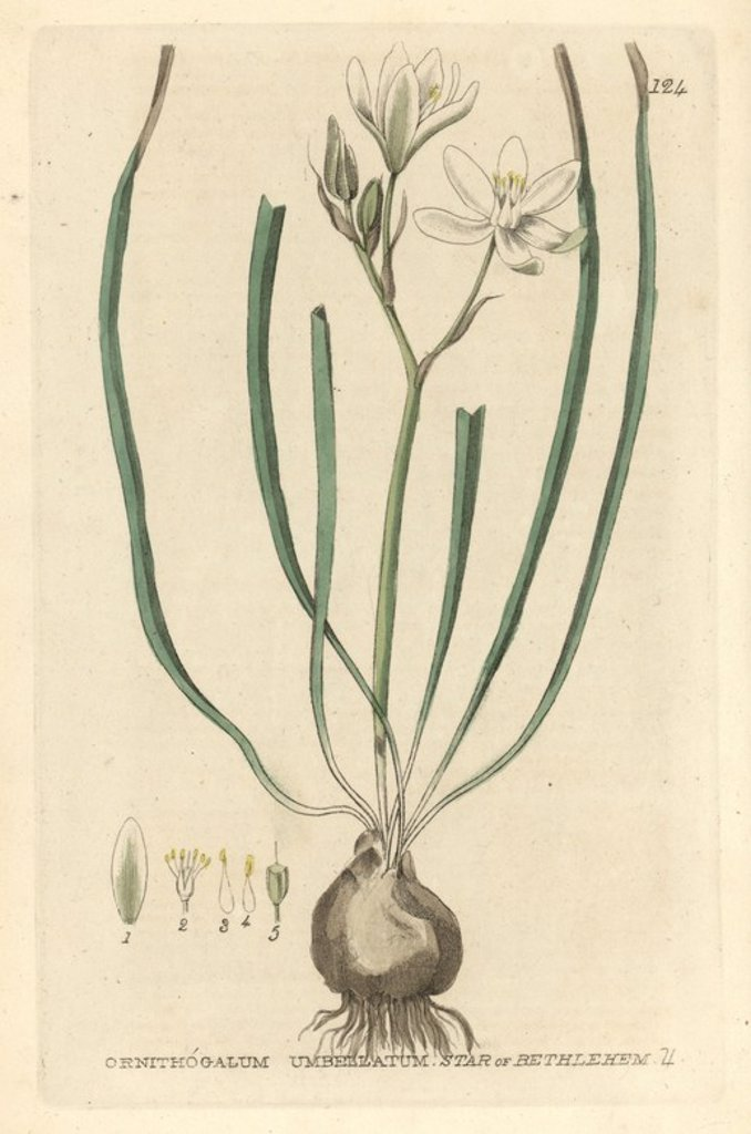 "Stock Photo: 4409-65924 Star of Bethlehem, Ornithogalum umbellatum. Handcoloured copperplate engraving from William Baxter's ""British Phaenogamous Botany"" 1835. Scotsman William Baxter (1788-1871) was the curator of the Oxford Botanic Garden from 1813 to 1854."