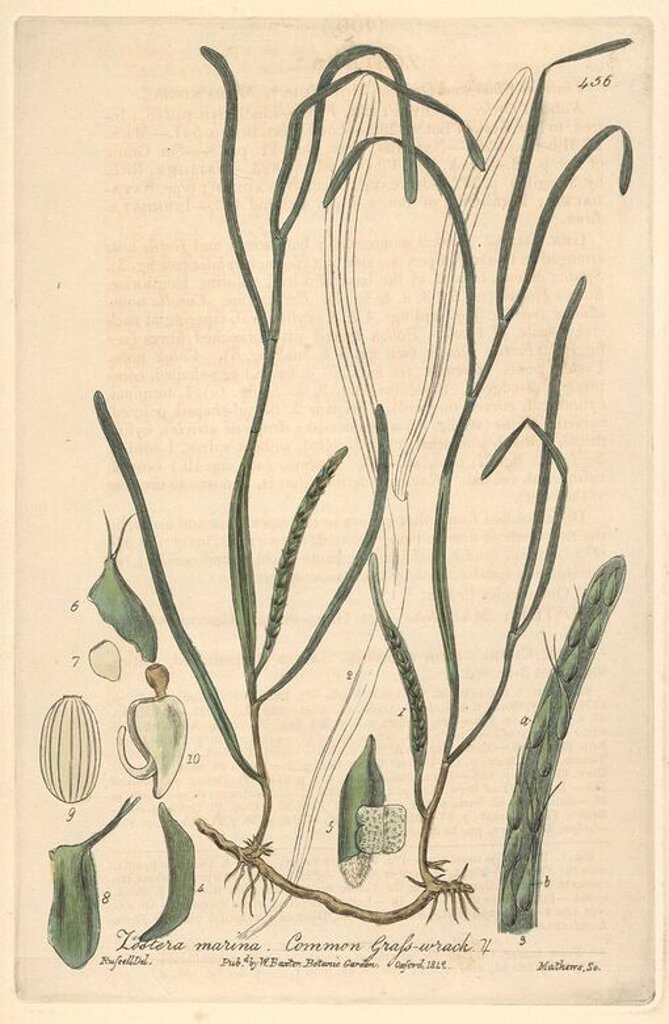 "Common grass-wrack, Zostera marina. Handcoloured copperplate engraved by Charles Mathews from a drawing by Isaac Russell from William Baxter's ""British Phaenogamous Botany,"" Oxford, 1841. Scotsman William Baxter (1788-1871) was the curator of the Oxford Botanic Garden from 1813 to 1854. : Stock Photo"