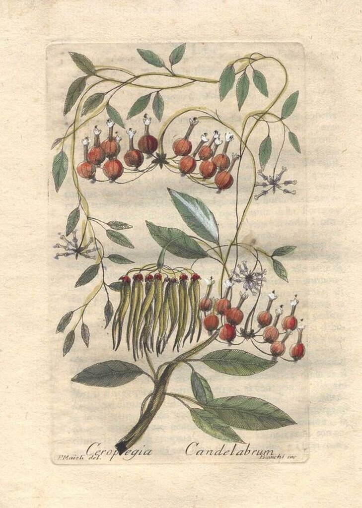 "Stock Photo: 4409-66008 The climbing plant Ceropegia candelabrum takes its name from its elaborate flowers that look like candlesticks. Noted for its poisonous seeds and latex which are used in medicine. . . Handcolored copperplate engraving by Majoli from John Hill's ""Decade of Curious and Elegant Trees and Plants"" (1786). It had first been published in London in 1773. The new edition had 10 hand-coloured botanical plates by P. Maioli (Majoli) engraved by Giuseppe Bianchi and depicted unusual plants such as carnivorou"