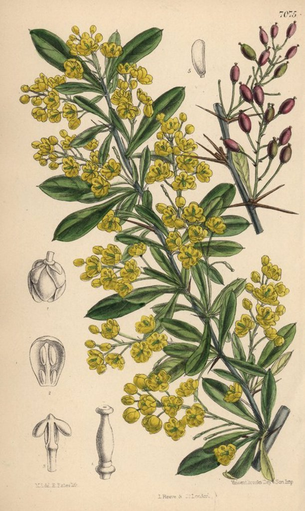 "Berberis lycium, yellow flowered barberry shrub from the western Himalayas. Hand-coloured botanical illustration drawn by Matilda Smith and lithographed by E. Bates from Joseph Dalton Hooker's ""Curtis's Botanical Magazine,"" 1889, L. Reeve & Co. A second-cousin and pupil of Sir Joseph Dalton Hooker, Matilda Smith (1854-1926) was the main artist for the Botanical Magazine from 1887 until 1920 and contributed 2,300 illustrations. : Stock Photo"
