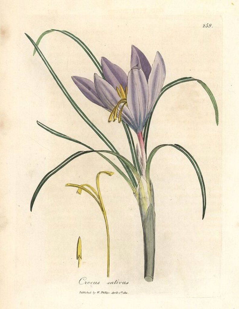 "Stock Photo: 4409-66226 Leaves, purple flowers and yellow antherae of the Saffron crocus, Crocus sativus. Handcolored copperplate engraving from a botanical illustration by James Sowerby from William Woodville and Sir William Jackson Hooker's ""Medical Botany"" 1832. The tireless Sowerby (1757-1822) drew over 2,500 plants for Smith's mammoth ""English Botany"" (1790-1814) and 440 mushrooms for ""Coloured Figures of English Fungi "" (1797) among many other works."