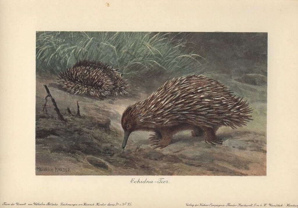 "Stock Photo: 4409-66276 Short-beaked Echidna (Tachyglossus aculeatus) or Spiny Anteater foraging for food on the ground.. . Colour printed illustration by Heinrich Harder from ""Tiere der Urwelt"" Animals of the Prehistoric World, 1916, Hamburg. Heinrich Harder (1858-1935) was a German landscape artist and book illustrator. From a series of prehistoric creature cards published by the Reichardt Cocoa company. Natural historian Wilhelm Bolsche wrote the descriptive text."