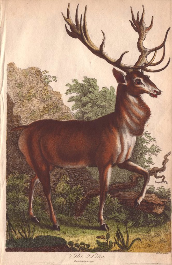 "Stock Photo: 4409-66307 Stag deer Cervus elaphus. . Hand-colored copperplate engraving from a drawing by Johann Ihle from Ebenezer Sibly's ""Universal System of Natural History"" 1794. . . The prolific Sibly published his Universal System of Natural History in 1794~1796 in five volumes covering the three natural worlds of fauna, flora and geology. The series included illustrations of mythical beasts such as the sukotyro and the mermaid, and depicted sloths sitting on the ground (instead of hanging from trees) and a domes"
