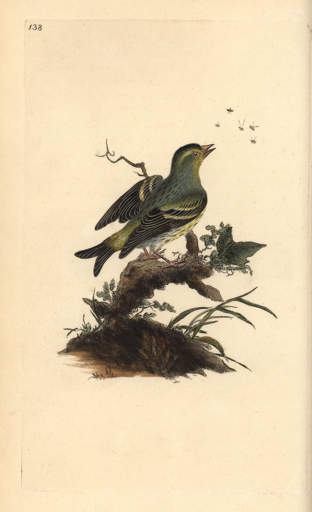 "Stock Photo: 4409-66346 Eurasian siskin, Carduelis spinus. Handcoloured copperplate drawn and engraved by Edward Donovan from his own ""Natural History of British Birds,"" London, 1794-1819. Edward Donovan (1768-1837) was an Anglo-Irish amateur zoologist, writer, artist and engraver. He wrote and illustrated a series of volumes on birds, fish, shells and insects, opened his own museum of natural history in London, but later he fell on hard times and died penniless."