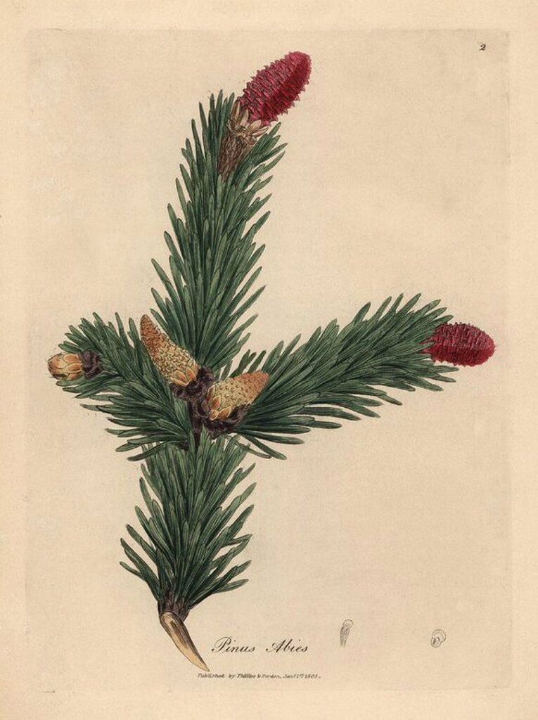 "Stock Photo: 4409-66497 Norway spruce, Pinus abies. Handcolored copperplate engraving from a botanical illustration by James Sowerby from William Woodville and Sir William Jackson Hooker's ""Medical Botany,"" John Bohn, London, 1832. The tireless Sowerby (1757-1822) drew over 2, 500 plants for Smith's mammoth ""English Botany"" (1790-1814) and 440 mushrooms for ""Coloured Figures of English Fungi "" (1797) among many other works."