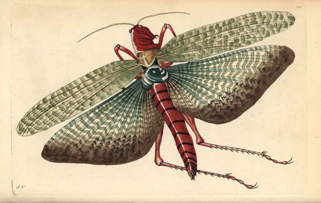 "South american locust, Locusta cristata, Egyptian locust [sic], Gryllus cristatus. Illustration signed SN (George Shaw and Frederick Nodder). Handcolored copperplate engraving from George Shaw and Frederick Nodder's ""The Naturalist's Miscellany"" 1796. Frederick Polydore Nodder (1751~1801?) was a gifted natural history artist and engraver. Nodder honed his draftsmanship working on Captain Cook and Joseph Banks' Florilegium and engraving Sydney Parkinson's sketches of Australian plants. He was mad : Stock Photo"