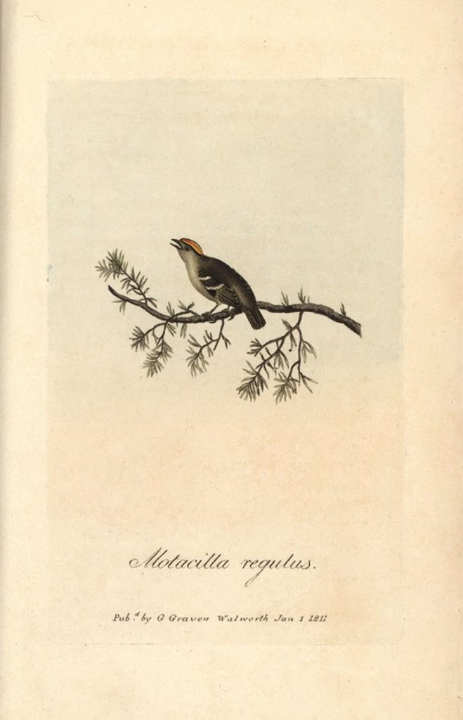 "Stock Photo: 4409-66558 Golden crested wren, Sylvia regulus, Motacilla regulus, Goldcrest, Regulus regulus. Handcoloured copperplate engraving by George Graves from ""British Ornithology"" 1811. Graves was a bookseller, publisher, artist, engraver and colorist and worked on botanical and ornithological books."