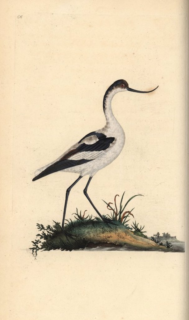 "Stock Photo: 4409-66593 Pied avocet, Recurvirostra avocetta. Handcoloured copperplate drawn and engraved by Edward Donovan from his own ""Natural History of British Birds,"" London, 1794-1819. Edward Donovan (1768-1837) was an Anglo-Irish amateur zoologist, writer, artist and engraver. He wrote and illustrated a series of volumes on birds, fish, shells and insects, opened his own museum of natural history in London, but later he fell on hard times and died penniless."