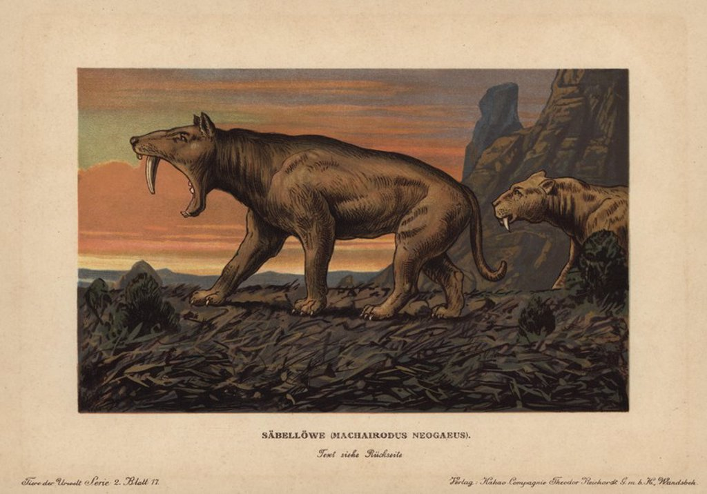 "Machaidorus neogaeus, Smilodon neogaeus, machairodontine saber-toothed cats that lived until the Pleistocene. Colour printed (chromolithograph) illustration by F. John from ""Tiere der Urwelt"" Animals of the Prehistoric World, 1910, Hamburg. From a series of prehistoric creature cards published by the Reichardt Cocoa company. : Stock Photo"